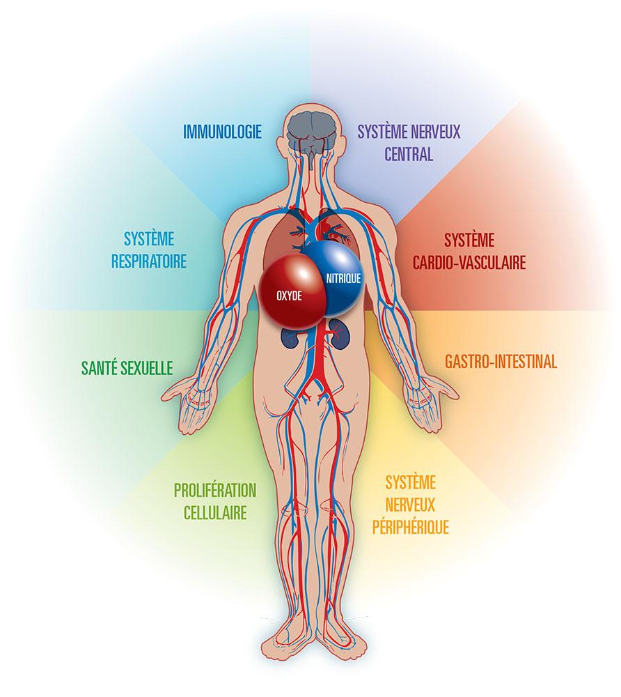 Anatomical Human Body Anatomy Of The Human Body Human Anatomy